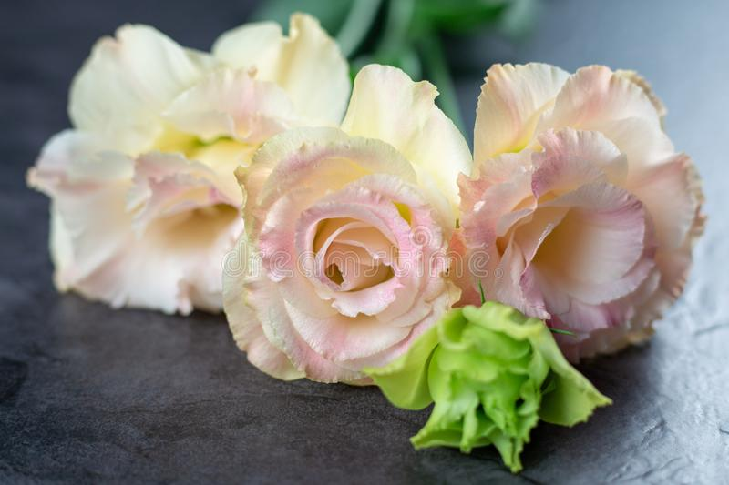 Beautiful and gentle pink Eustoma flowers, Lisianthus, tulip gentian, eustomas on fark background Close up stock photography