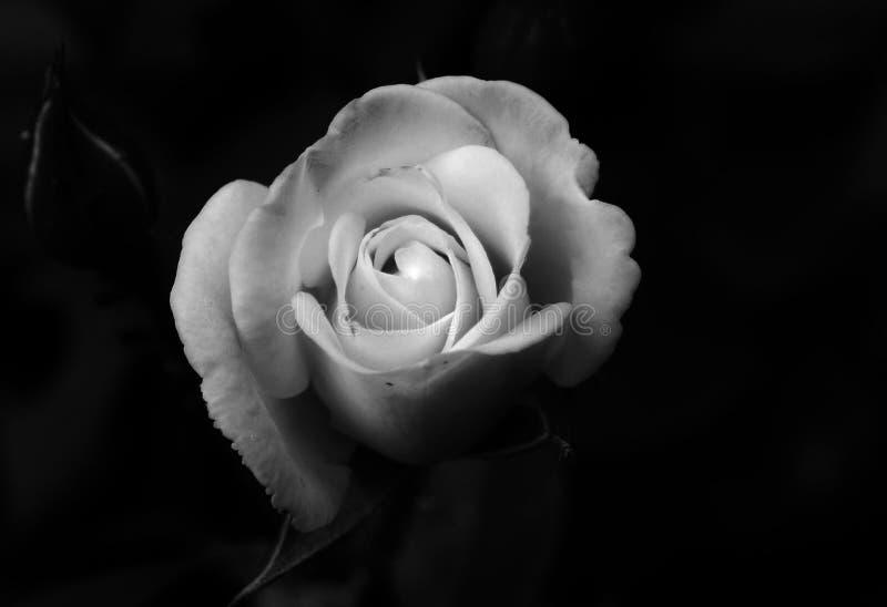 Beautiful gentle white rose on dark black background. Closen royalty free stock image