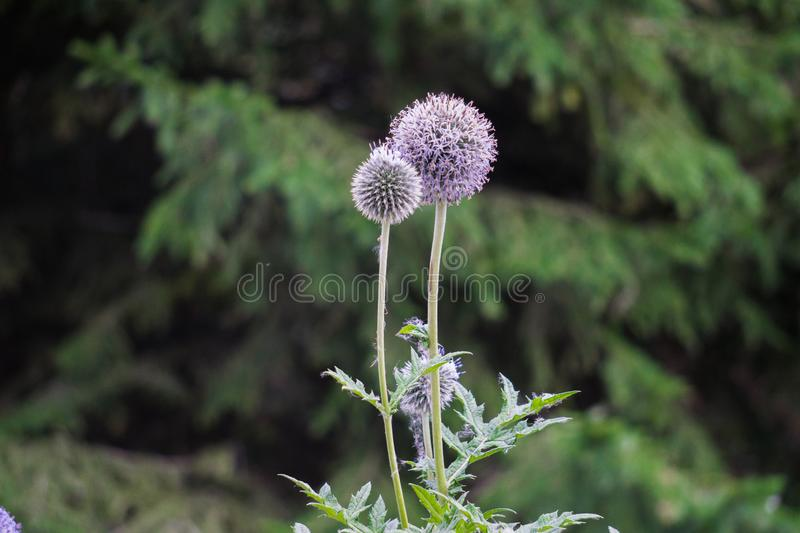 Beautiful gently purple thistle flowers in a field.  royalty free stock image