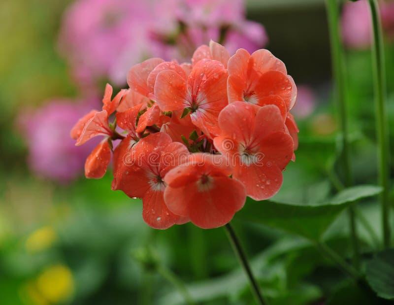 Beautiful geranium flowers stock images
