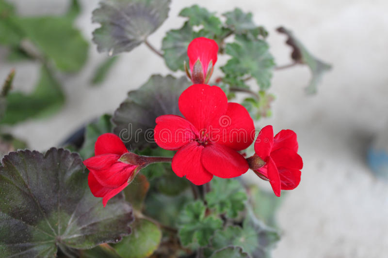 Beautiful geranium flowers stock images