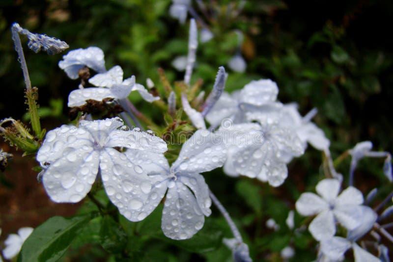 A beautiful Geranium sanguineum Album, White bloody cranesbill royalty free stock photography