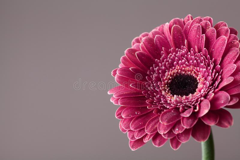 Beautiful Gerbera Daisy Flower In Water Drops Greeting Card