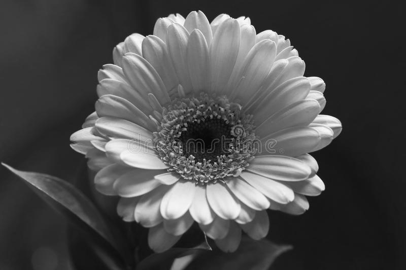Gerbera Flower in a Closeup Photo. Beautiful gerbera flower in a closeup. Looks a bit like daisy flower. In this photo you can see the blooming gerbera in black stock photography