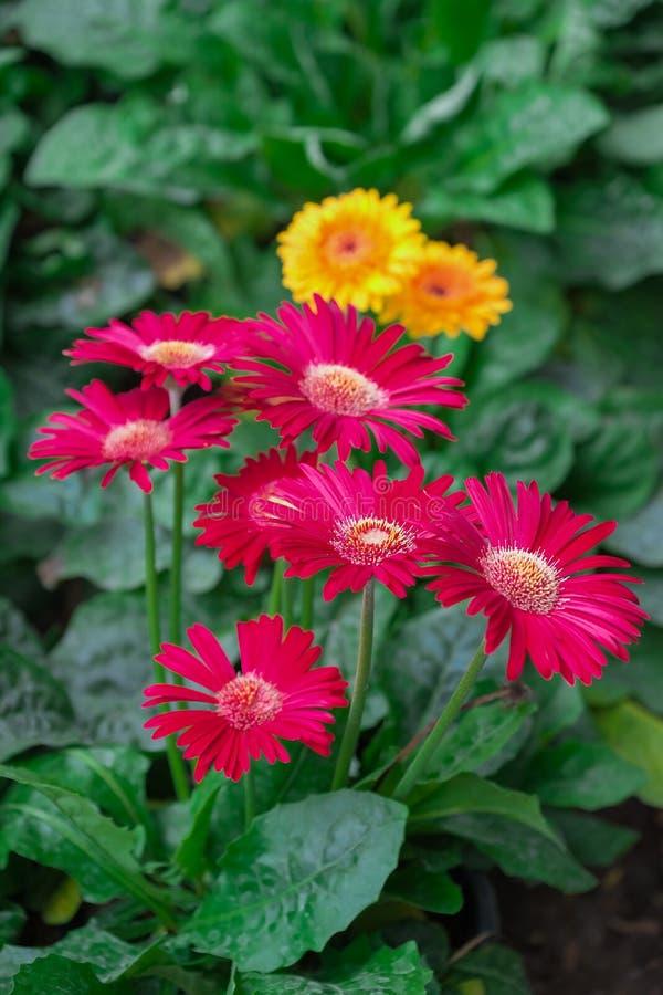 Beautiful gerbera flowers on tree royalty free stock image