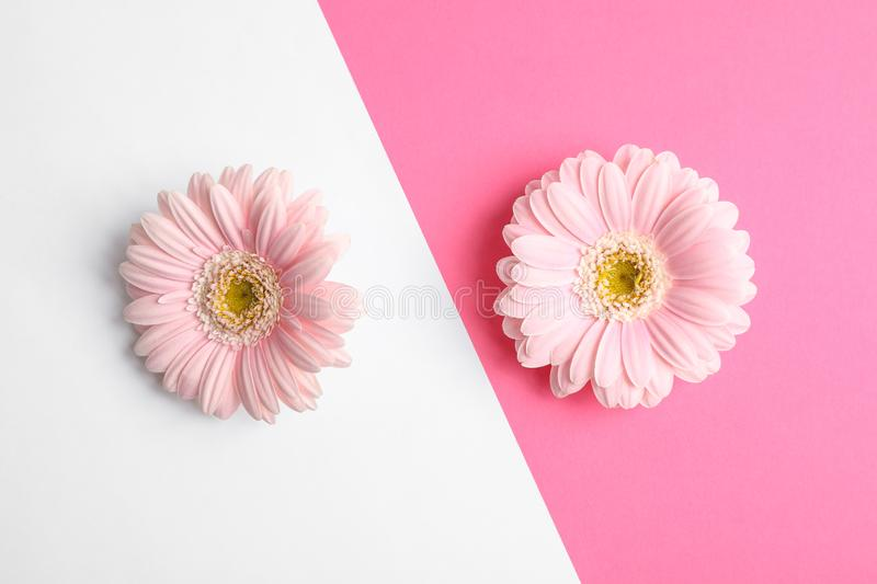 Beautiful gerbera flowers on two tone background. Space for text royalty free stock photos