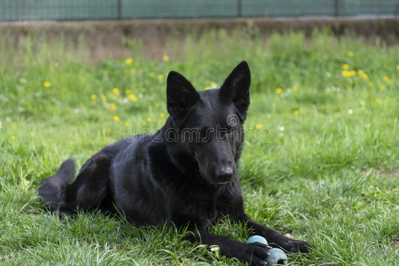 Beautiful german shepherd dog have a rest in the backyard. German shepherd guard dog in the grass of backyard in a moment of rest lying down in the green grass royalty free stock image