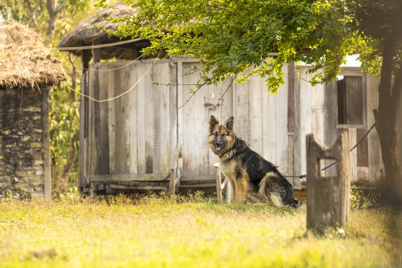 A beautiful German Shepherd dog sitting on the grass stock photo