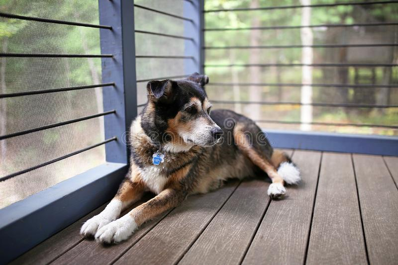 Beautiful German Shepherd Mix Breed Dog Keeping Watch from Cabin Porch stock images