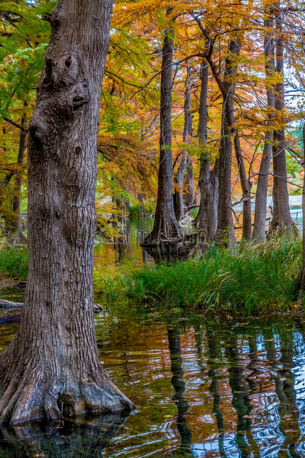 Beautiful Giant Cypress Trees Covered with Fall Foliage in Texas. stock image