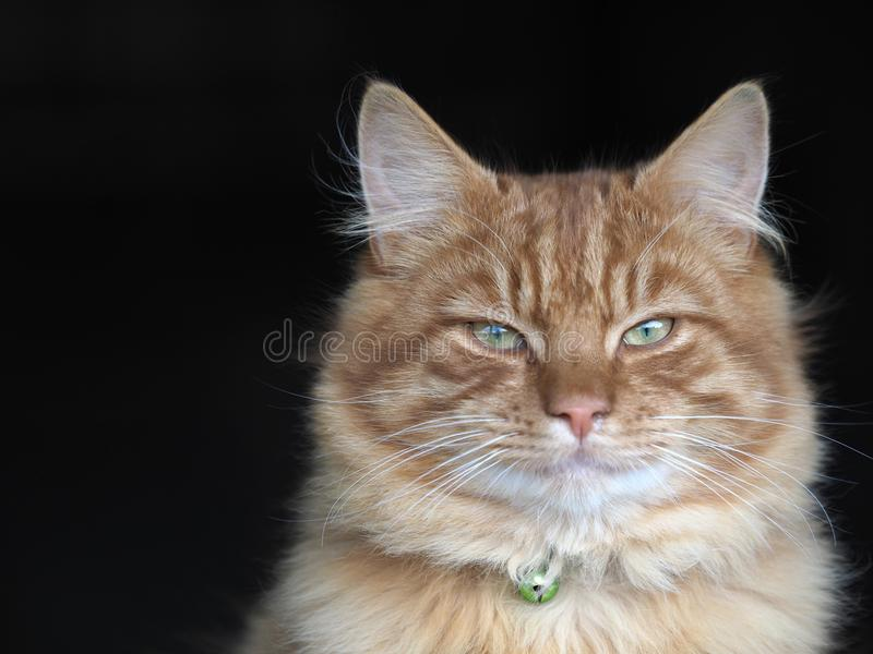 Beautiful Ginger Cat. A head shot of a beautiful ginger tom cat royalty free stock photography