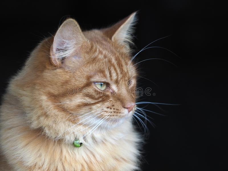 Beautiful Ginger Cat. A head shot of a beautiful ginger tom cat royalty free stock image