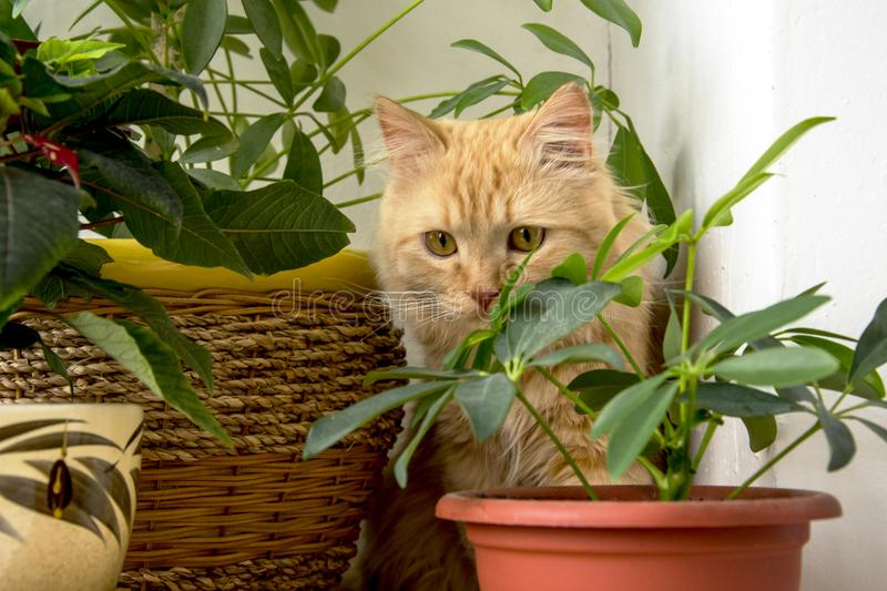 Beautiful ginger cat hiding in the flowers pots stock images