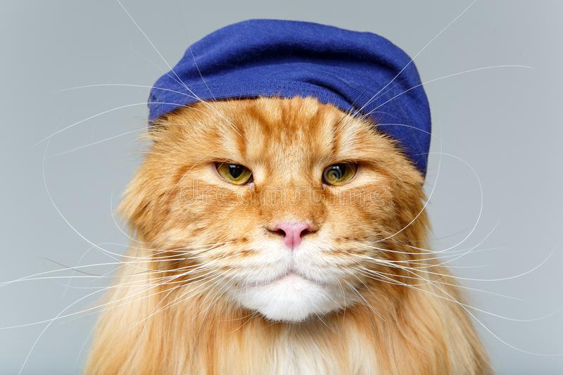Beautiful maine coon cat in hat. Beautiful ginger maine coon cat wearing blue hat on grey background. copy space. studio shot royalty free stock photos