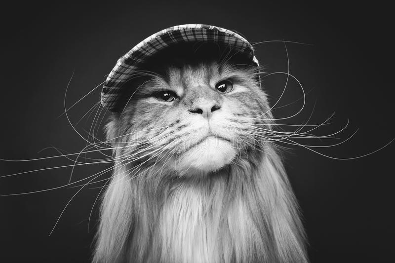 Beautiful maine coon cat in hat. Beautiful ginger maine coon cat wearing checked cap. copy space. studio shot on dark background stock photography