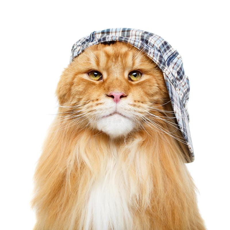 Beautiful maine coon cat in hat stock image