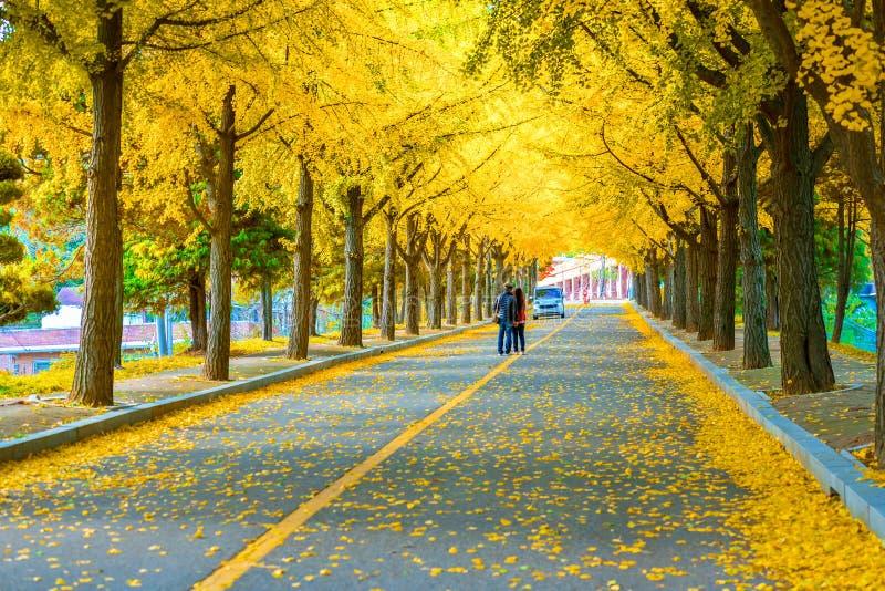 Beautiful Ginkgo line tree at Suwon South korea stock photos