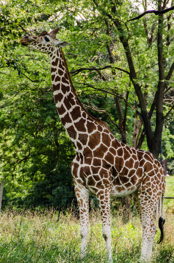 Beautiful Giraffe eating from a tree. The giraffe (Giraffa camelopardalis) is an African even-toed ungulate mammal, the tallest living terrestrial animal and the stock images