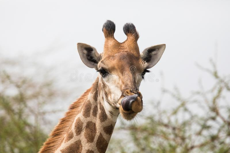 Beautiful giraffe looking curious stock photo
