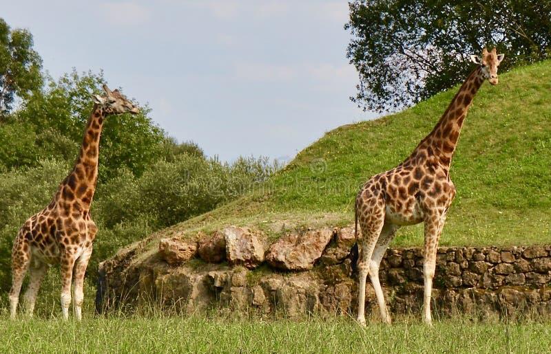 Beautiful giraffes in the nature stock photo