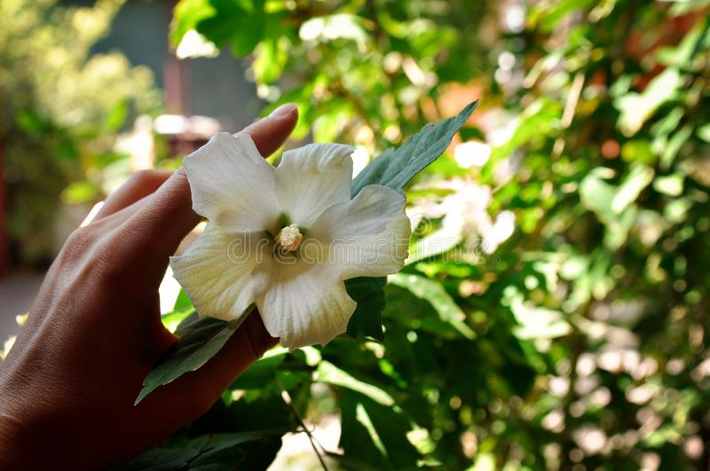 Hand girl holding a white flower in the garden in the summer. A beautiful girl holds a white tropic flower in her hands in the garden in the summer stock images