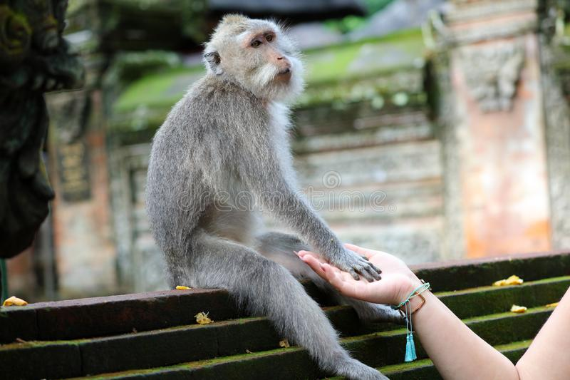 Beautiful girl holding hands with monkey at monkeys forest in Bali Indonesia, pretty woman with wild animal. royalty free stock photo