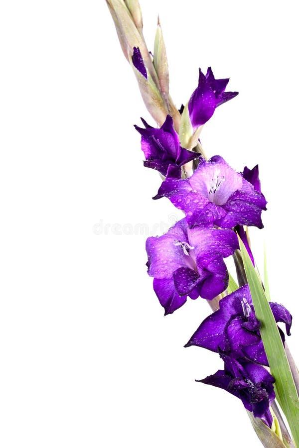 Free Beautiful Gladiola Flower Royalty Free Stock Images - 16282309