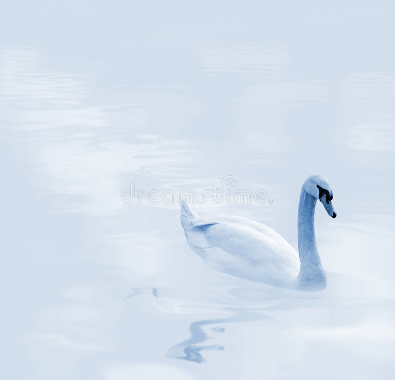 Free Beautiful Gliding Swan Royalty Free Stock Images - 2114209