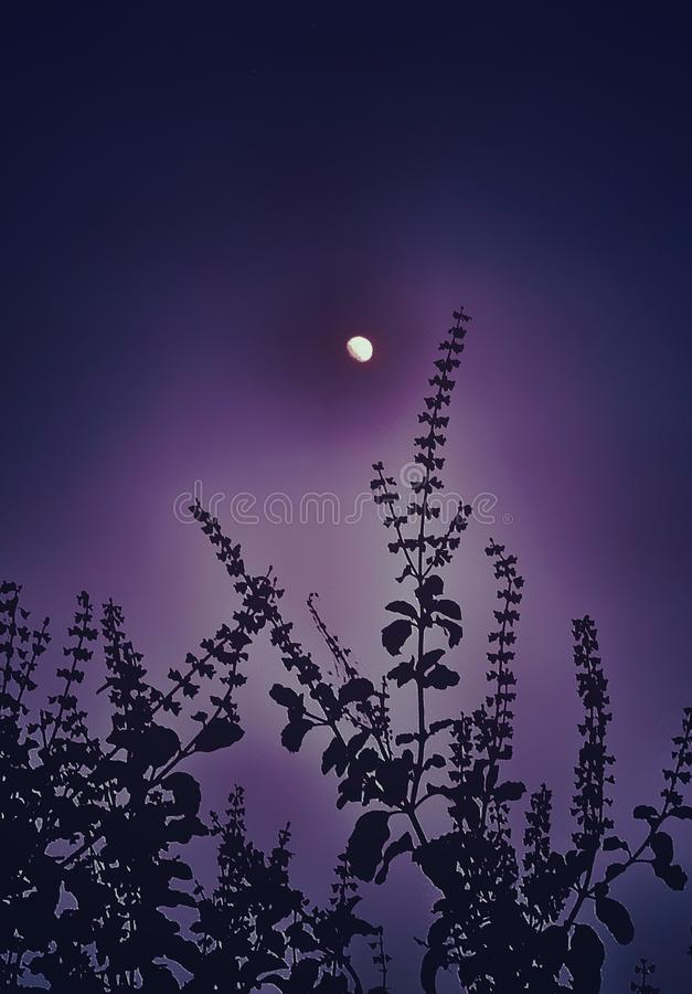 A beautiful moon over basil flowers. A beautiful glowing moon can be seen over basil flowers in the purple sky royalty free stock photography