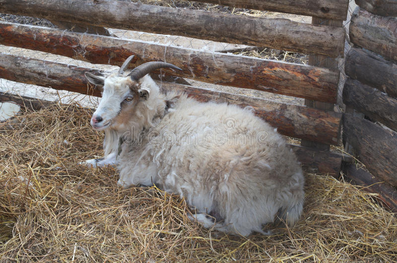 Beautiful goat lying on a haystack by the wall of the pen. Beautiful goat with big horns phlegmatic lying on a haystack by the wall of the pen stock photos