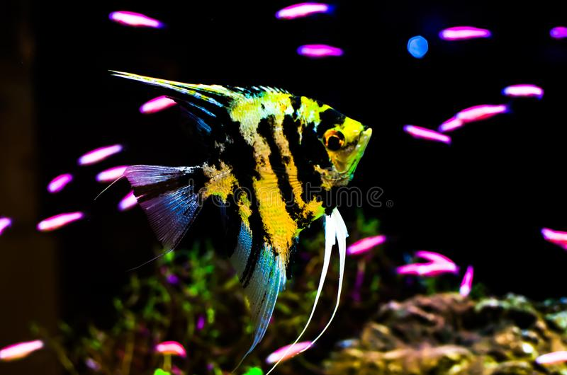 Gold-black pattern Angelfish swimming in a fish tank. royalty free stock images