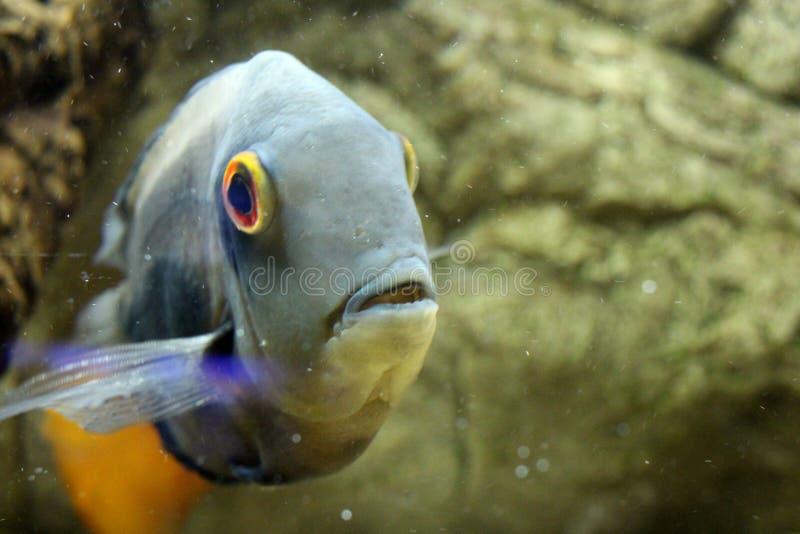 Beautiful gold sea fish swims in the aquarium royalty free stock photo