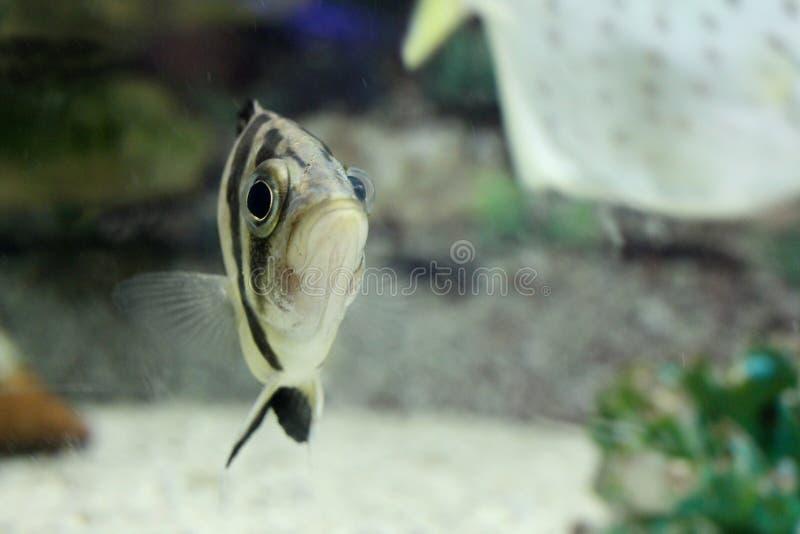 Beautiful gold sea fish swims in the aquarium stock images
