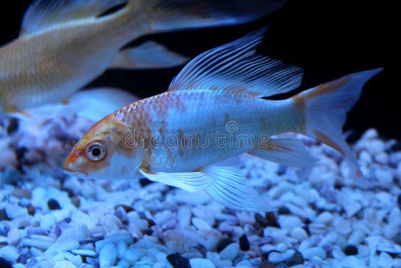 Beautiful gold sea fish swims in the aquarium black multi-colored bottom underwater world royalty free stock image