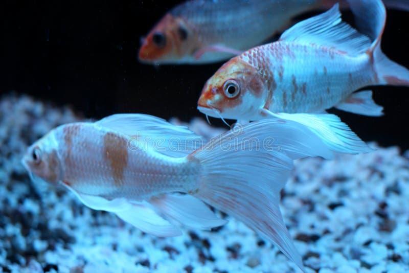 Beautiful gold sea fish swims in the aquarium black multi-colored bottom underwater world stock image
