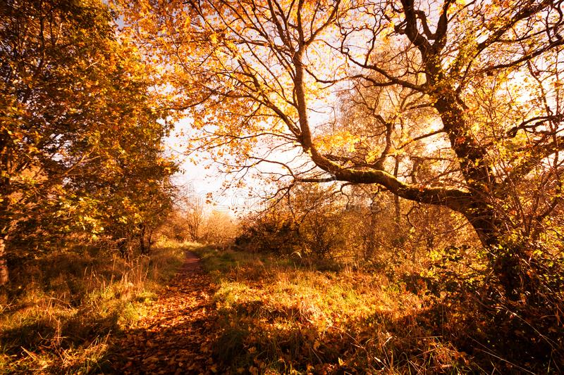 Beautiful, golden autumn scenery with trees and golden leaves in the sunshine in Scotland. United Kingdom royalty free stock photos