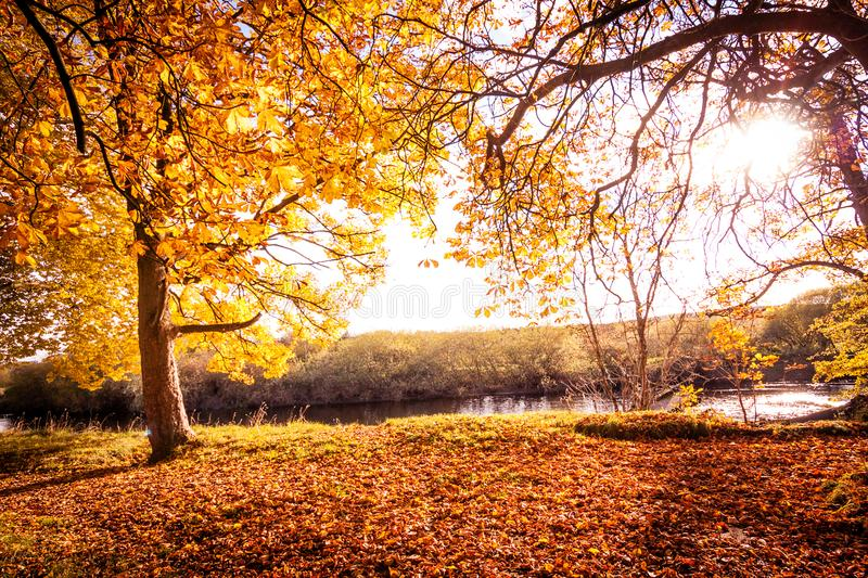 Beautiful, golden autumn scenery with trees and golden leaves in the sunshine in Scotland. United Kingdom royalty free stock photo