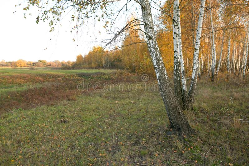 Beautiful golden autumn. white birches in colorful dress. royalty free stock photography