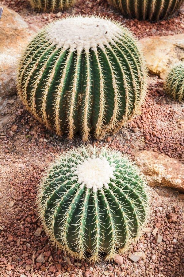 Beautiful golden barrel cactus echinocactus grusonii in botanical garden royalty free stock images