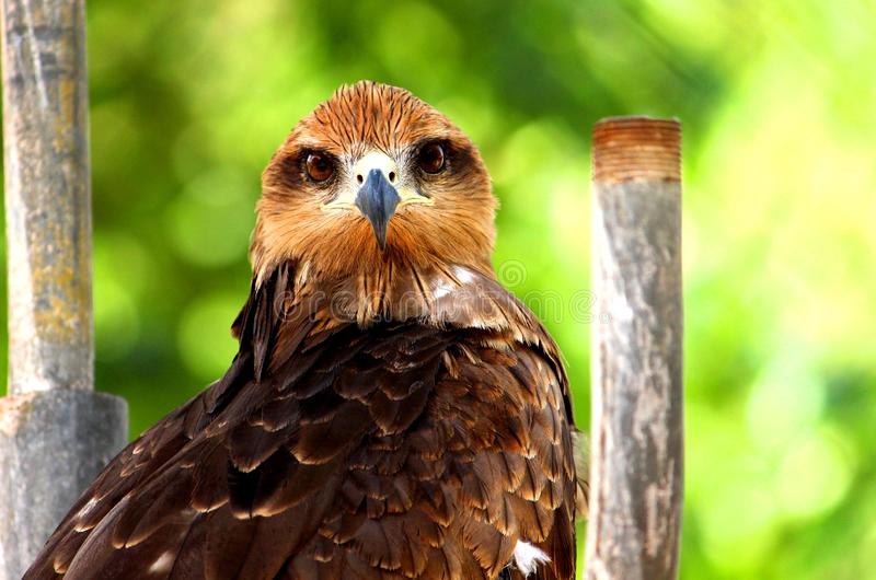 Side view of Golden Eagle. Beautiful Golden Eagle is looking to the camera at VOC Park in Coimbatore royalty free stock image