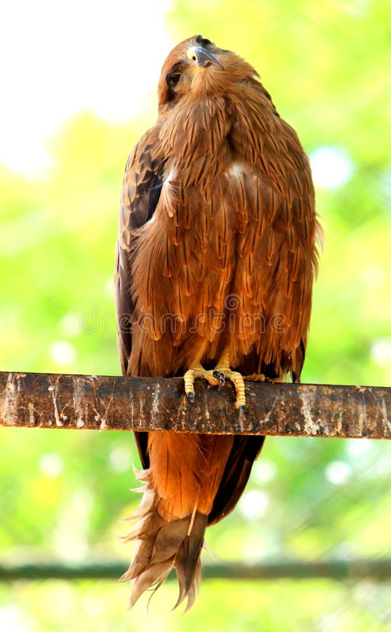 Beautiful Golden Eagle rotating head. Beautiful Golden Eagle is rotating head and is looking to the camera at VOC Park in Coimbatore stock photography