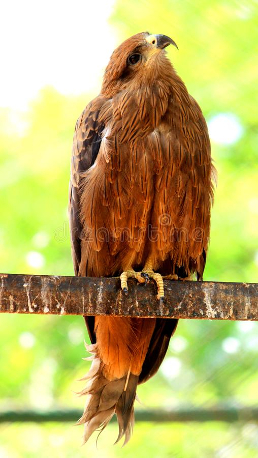 Beautiful Golden Eagle rotating head. Beautiful Golden Eagle is rotating head and is looking to the camera at VOC Park in Coimbatore royalty free stock photography
