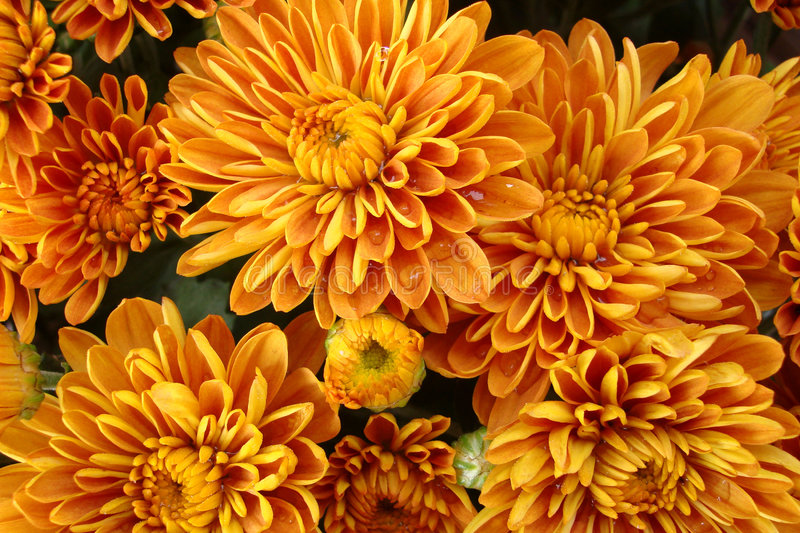 Beautiful golden fall mums stock photos