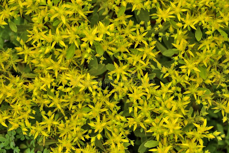 Beautiful golden flowers of succulent and medicinal plant Sedum. Hybridum family Crassulaceae close up - natural floral summer background, selective focus royalty free stock photography