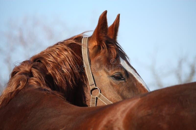 Beautiful golden horse portrait looking back stock images