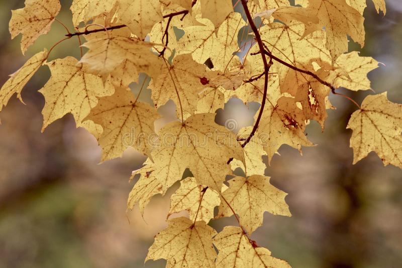 Beautiful golden maple leaves on a branch hanging down from a tree, closeup, Autumn stock photos