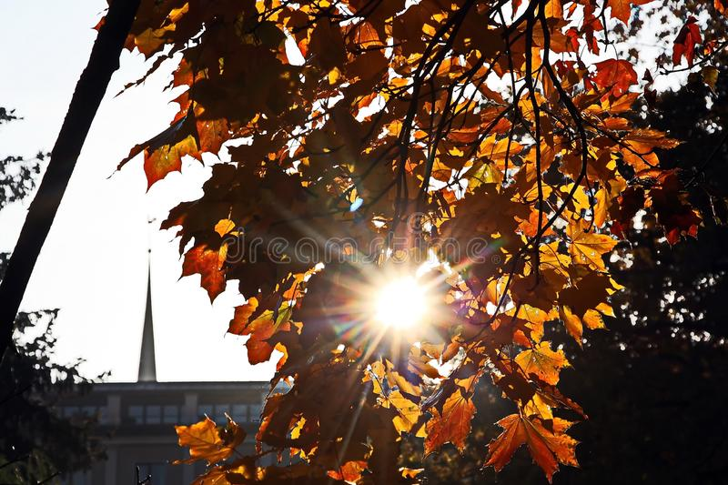Beautiful golden maple leaves in the sun. In early October in Riga royalty free stock photography