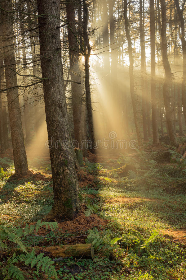 Beautiful Golden Morning Sunbeams. stock photo