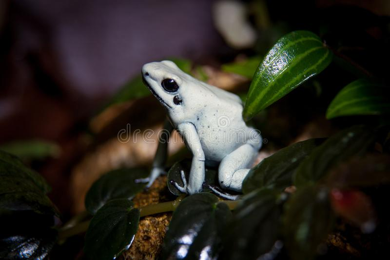 The beautiful golden poison frog in terrarium. The golden poison frog, Phyllobates terribilis, in terrarium stock photography