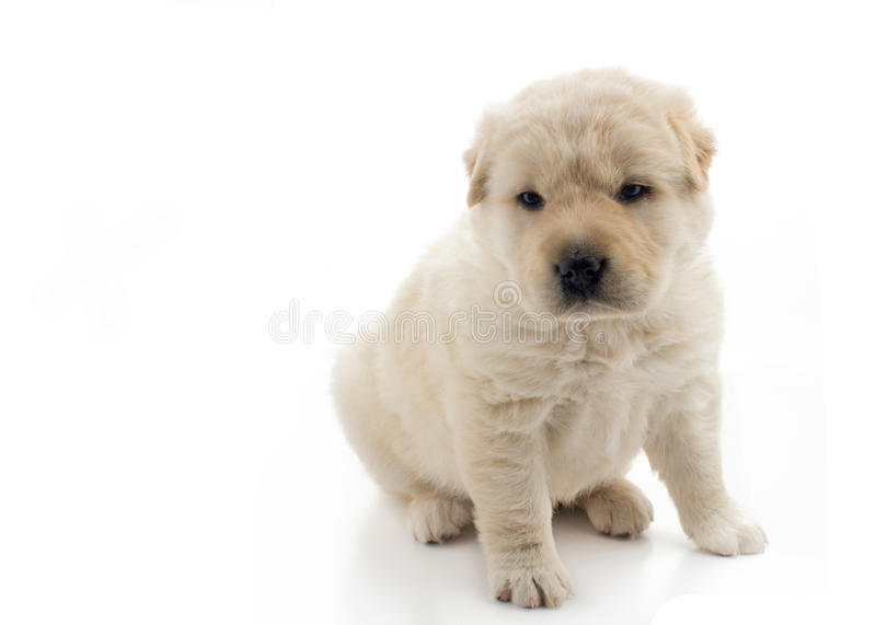 Beautiful golden puppy sat up,. Soft focus on a beautiful small golden puppy sat up, the dog is isolated on a white background with copy space for text to the royalty free stock image